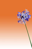Agapanthus isolated Royalty Free Stock Photography