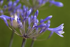 agapanthus kwiat Obraz Stock