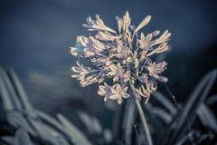 Agapanthus kwiat na zamazanym tle Zdjęcia Royalty Free