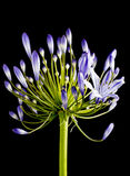 agapanthus kwiatu purpury Obraz Royalty Free