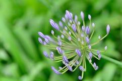 agapanthus kwiaty Obrazy Stock