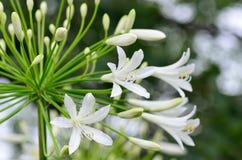 agapanthus kwiaty Zdjęcia Royalty Free
