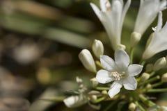 agapanthus kwitnie biel Zdjęcie Royalty Free