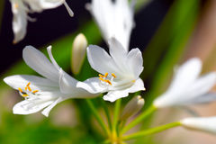 agapanthus kwitnie biel Obrazy Stock