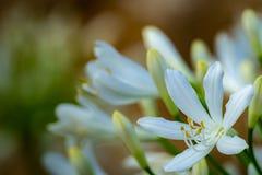Agapanthus - Lilie des Nils stockbilder