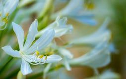 Agapanthus - Lilie des Nils lizenzfreies stockfoto