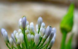 Agapanthus - Lilie des Nils lizenzfreie stockfotografie