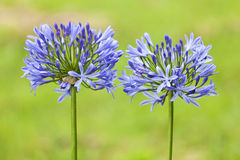 Agapanthus Lilies Royalty Free Stock Image