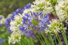 Amazing Blue and White Agapanthus Flowers. Agapanthus or Lily of the Nile are very hardy plants and drought tolerant. Agapanthus is the flower of summer and its Stock Image