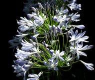 Agapanthus oder Lily Of The Nile Lizenzfreies Stockfoto