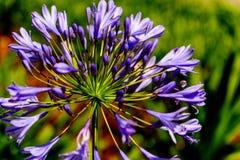 Agapanthus púrpura en la floración Imágenes de archivo libres de regalías