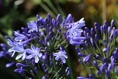 Agapanthus plant in flower. Collection of purple flower heads of agapanthus royalty free stock photography