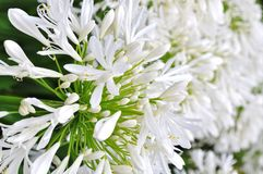 Agapanthus Praecox Royalty Free Stock Images