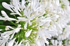 agapanthus praecox Obrazy Royalty Free