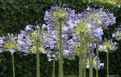 Agapanthus purple flower. Close up flowers of Blue African Lily Stock Photography