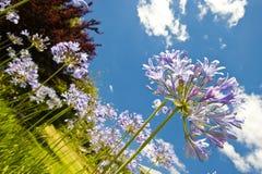 agapanthus purpury Zdjęcia Stock