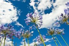 agapanthus purpury Fotografia Stock