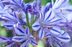 Agapanthus rayé bleu Images libres de droits
