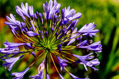 Agapanthus roxo na flor Imagens de Stock Royalty Free