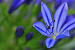 Agapanthus Series 1 Royalty Free Stock Photography