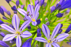 Agapanthus Series 12. Macro photography of the agapanthus flower which originates from south africa Stock Image