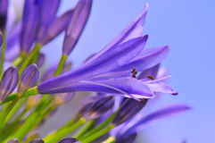 Agapanthus Series 18 Royalty Free Stock Photo