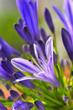 Agapanthus Series 8. Macro photography of the agapanthus flower which originates from south africa Stock Image