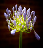 Agapanthus Royalty Free Stock Photos