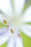 Agapanthus stamen and anthers Royalty Free Stock Photo