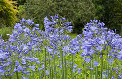 Agapanthus. View of blue Agapanthus in a garden setting Stock Photo