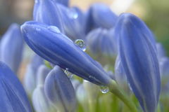 Agapanthus Water Drops In The Rain Royalty Free Stock Images