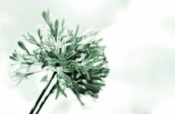 Agapanthusa kwiat z lekkim racy skutkiem Zdjęcie Royalty Free