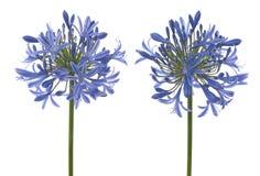 Agapanthusblüte Lizenzfreies Stockfoto