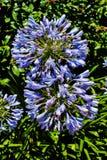 Agapanthusblomma i trädgården royaltyfria bilder