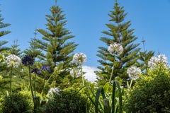Agapanthustuin met de bomen van de het Eilandpijnboom van Norfolk op de achtergrond stock foto