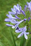 Agapantu Africanus kwiat Zdjęcia Stock