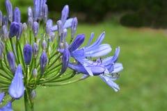 Agapantu Africanus kwiat Zdjęcia Royalty Free