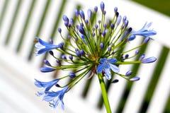 Agapantu africanus kwiaty Obraz Stock
