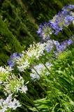 Agapantu afrykanina kwiaty Fotografia Stock