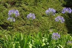Agapantu afrykanina kwiaty Obraz Stock