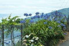 Agapantu atPorto Moniz na północnego zachodu wybrzeżu dokąd góry w północy wyspa madera spotykają Atlantyckiego ocean Zdjęcia Royalty Free
