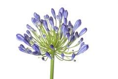 Agapantu kwiat Zdjęcie Stock