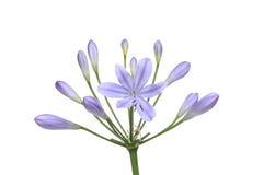 Agapantu kwiat Obrazy Royalty Free