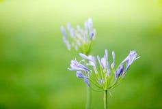 Agapantu kwiat Zdjęcia Royalty Free