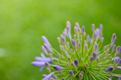 Agapantu kwiat Fotografia Stock