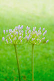 Agapantu kwiat Zdjęcia Stock