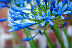 Agapantu kwiat, leluja Nil/ Obrazy Royalty Free