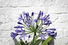 Agapantu kwiat na ściana z cegieł tle Obrazy Royalty Free