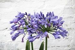 Agapantu kwiat na ściana z cegieł tle Obraz Royalty Free