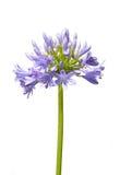 Agapantu kwiat odizolowywający na bielu obrazy stock